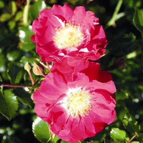"Корни роз сорт ""Липстик"", фото 2"