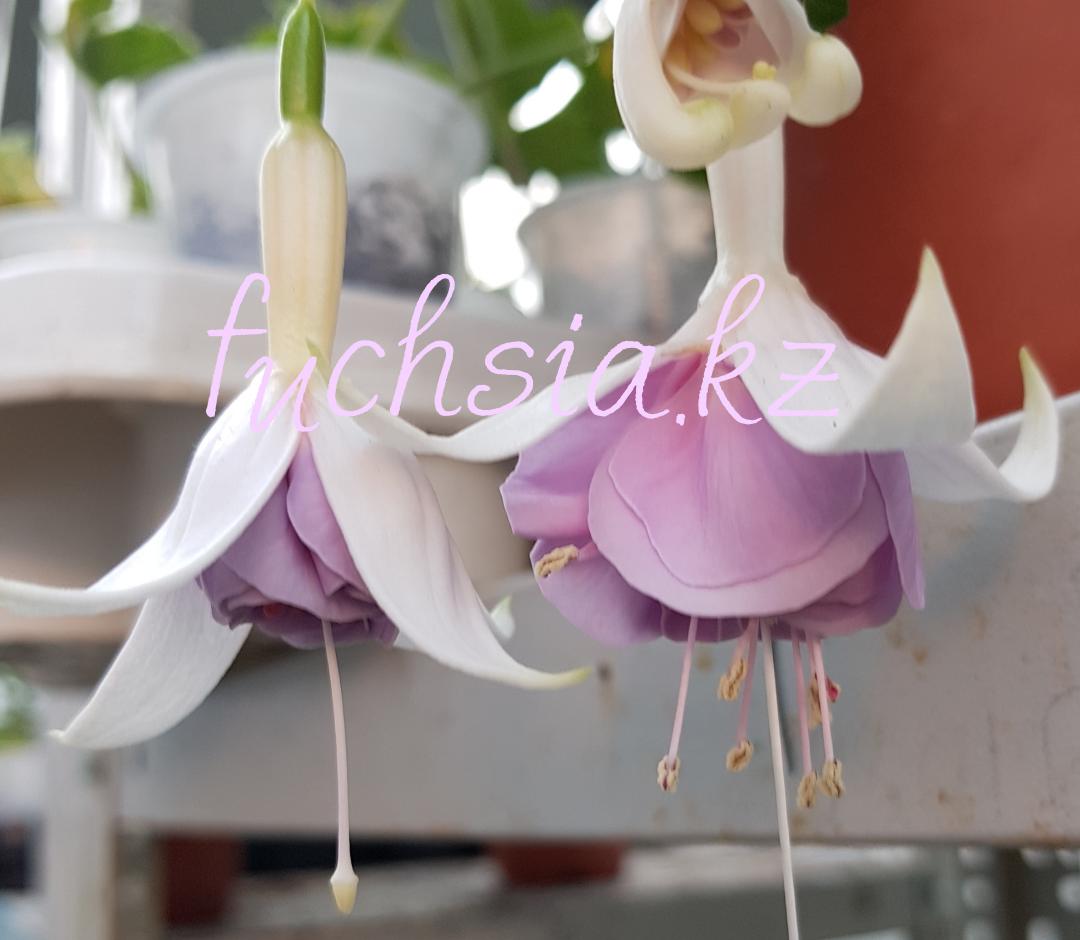 Hery Panache / подрощенное растение