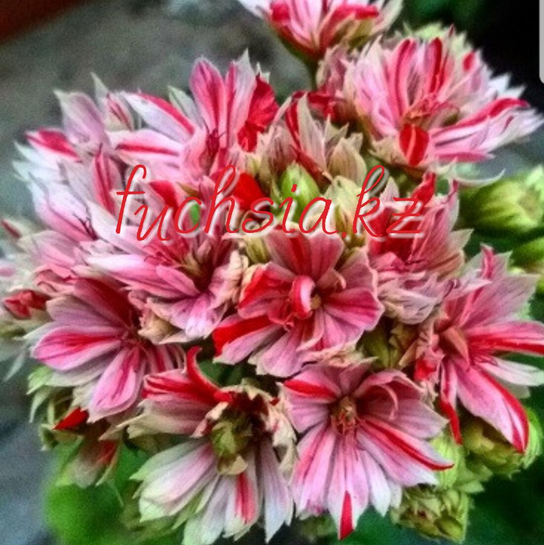 Mallorka/кактусная / подрощенное растение