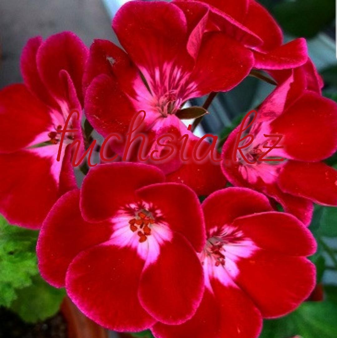 Pac Flower Fairy Velvet / укор.черенок