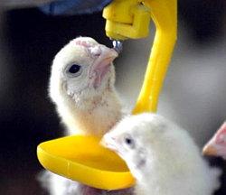 Антибактериальные препараты для птиц
