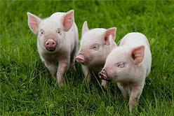 Антибактериальные и противовоспалительные препараты для свиней