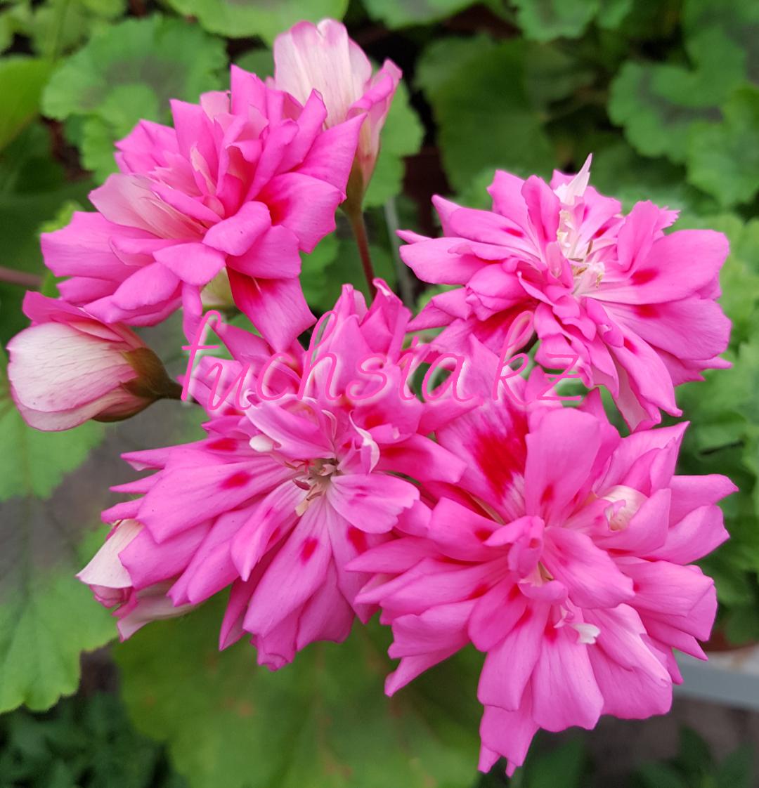 Unicorn Zonartic Rose /зонартик / укор.черенок