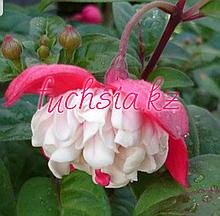 Ballerina/ подрощенное растение