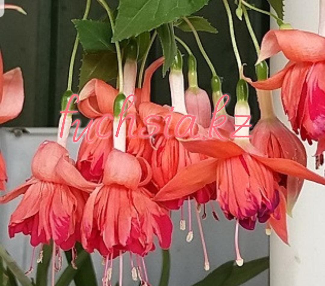 Bicentennial / подрощенное растение