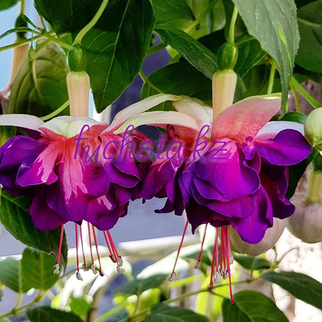Brokwood Joy/ подрощенное растение