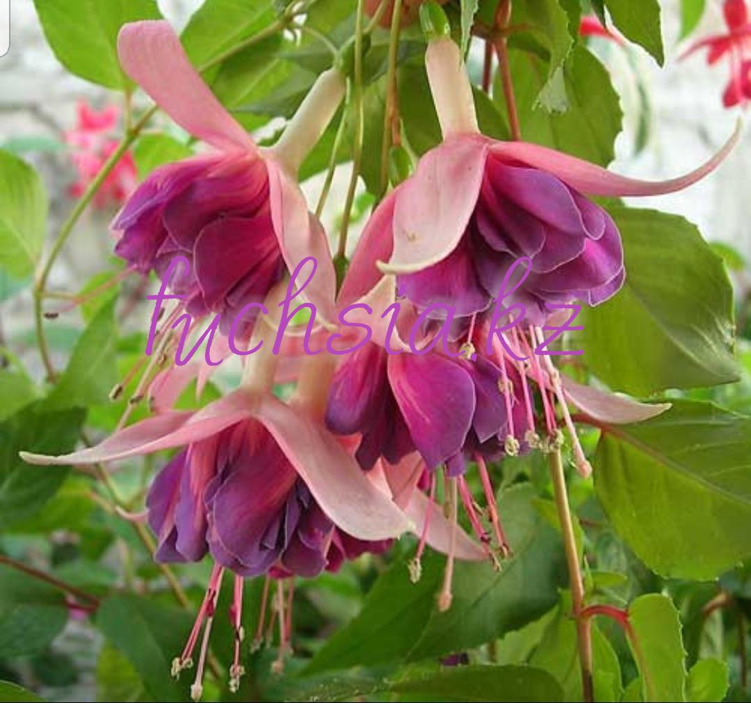 Corsair / подрощенное растение