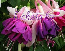 Hery Mochara / подрощенное растение