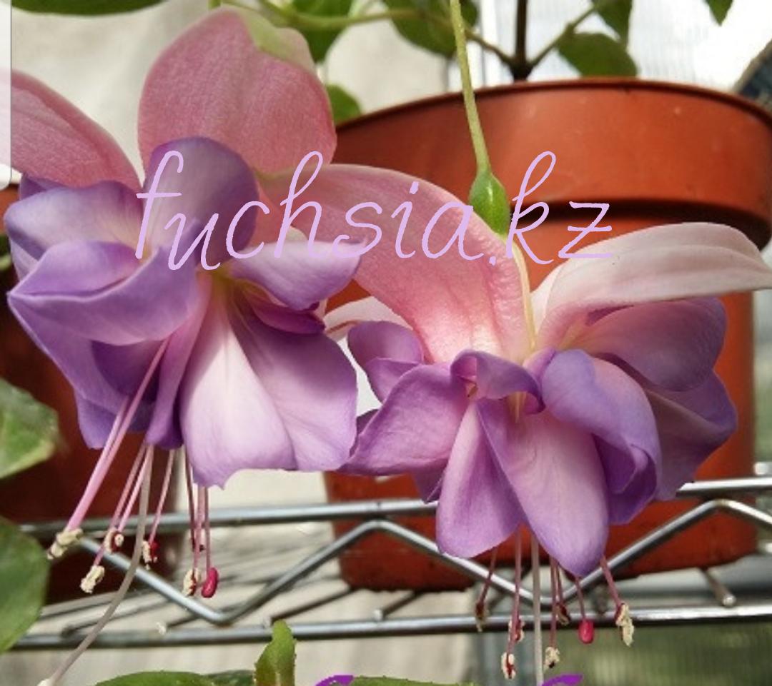 Heydon / подрощенное растение
