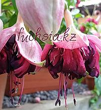 Hof Popkensburg / подрощенное растение