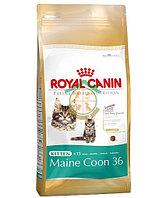 Maine Coon KITTEN, 2 kg