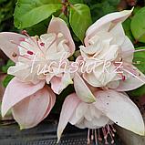 Margarita /подрощенное растение, фото 2