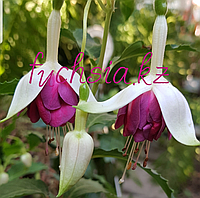Jeanine de Kock / подрощенное растение