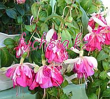 La Fiesta / подрощенное растение