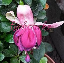 Manuela Pscheidt /подрощенное растение