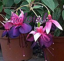 Maxima / подрощенное растение