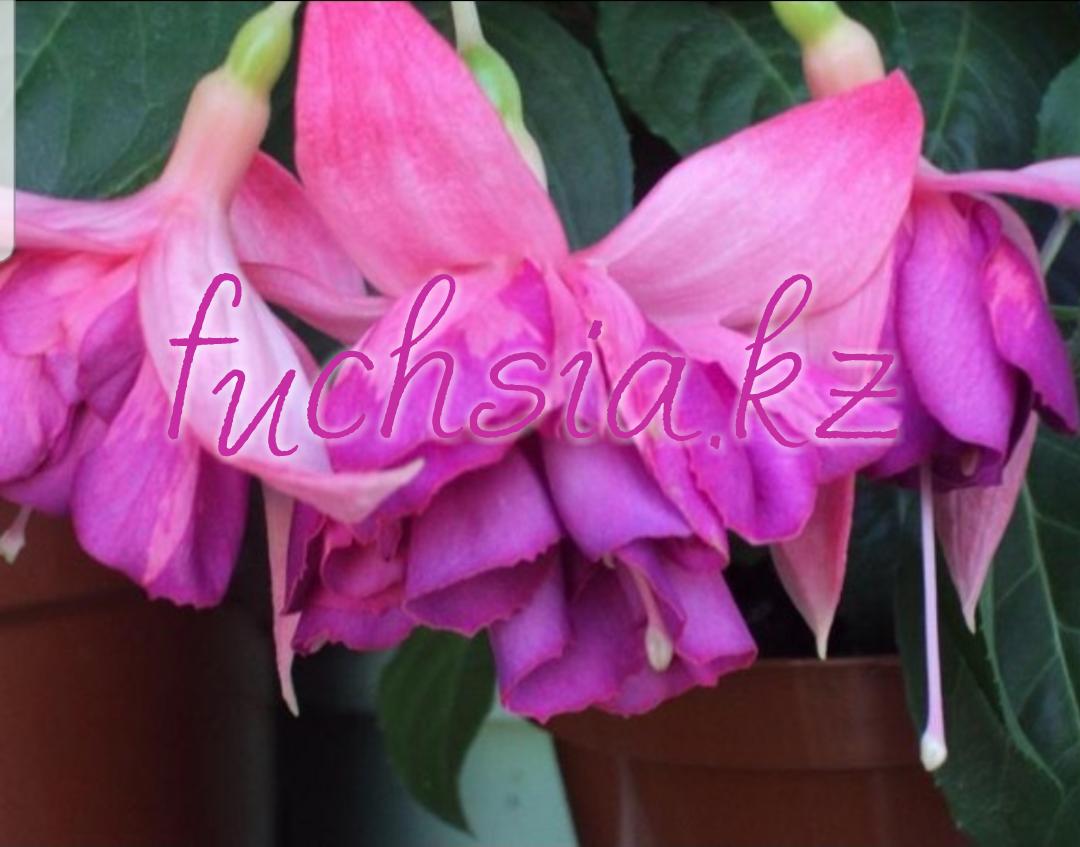 Philippe / подрощенное растение
