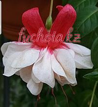 Snow Burner /подрощенное растение