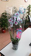 Голубая орхидея!