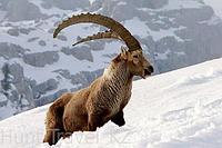 Охота на Сибирского козерога (Тэка)