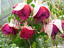 Tabu / подрощенное растение