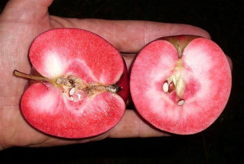 Яблоня с красной мякотью сорт Калипсо