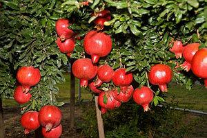 Гранат крупноплодный сорт Ширван