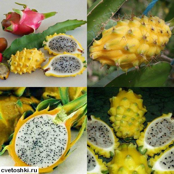 Питахайя с желтыми плодами