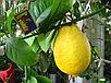 Лимон сорт Новогрузинский, фото 2