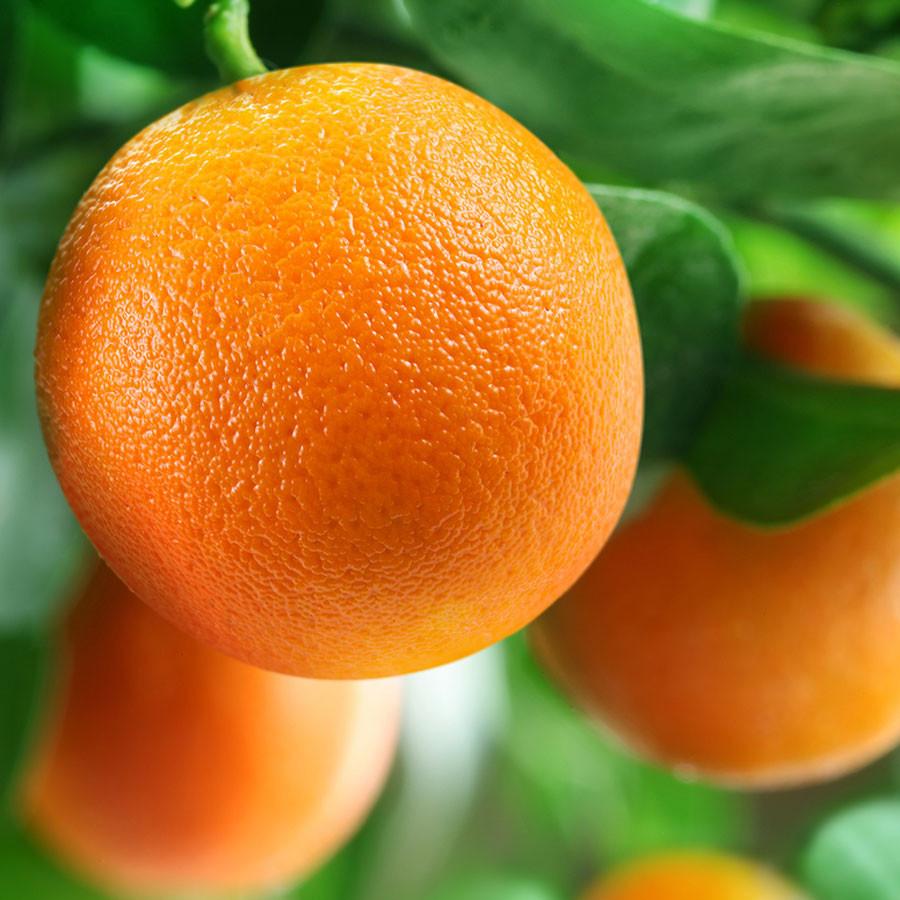 Апельсин сорт Вашингтон Навел