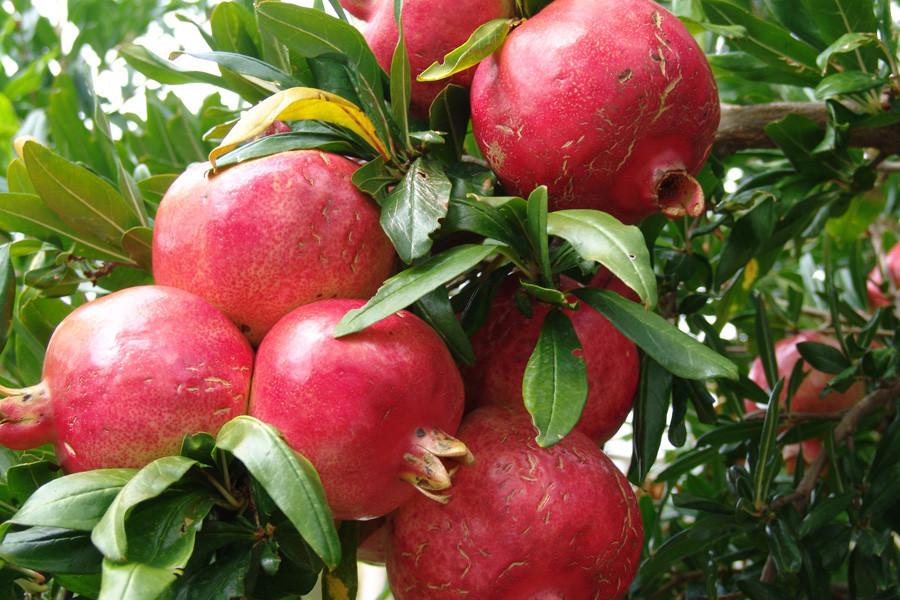 Гранат крупноплодный сорт Гюлоша розовая