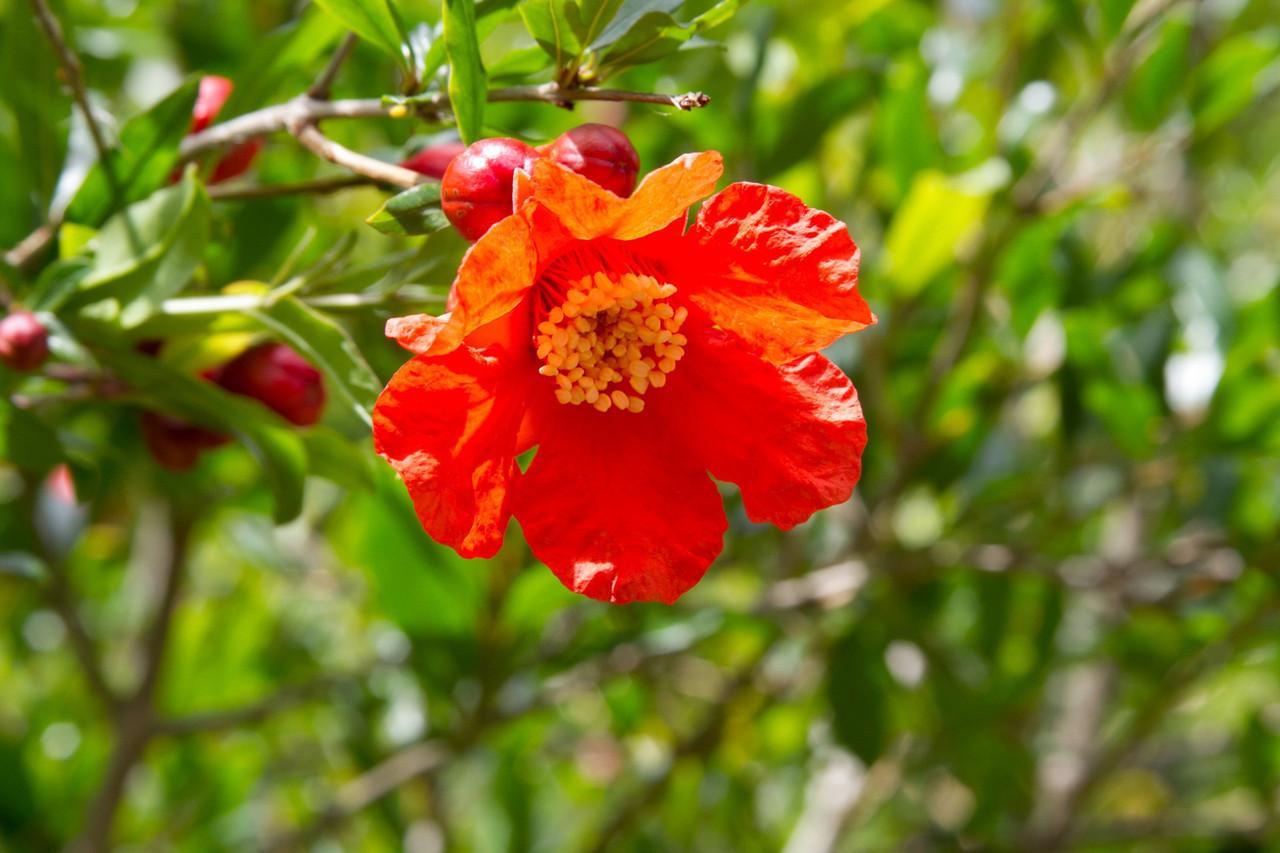 Гранат крупноплодный сорт Акдона