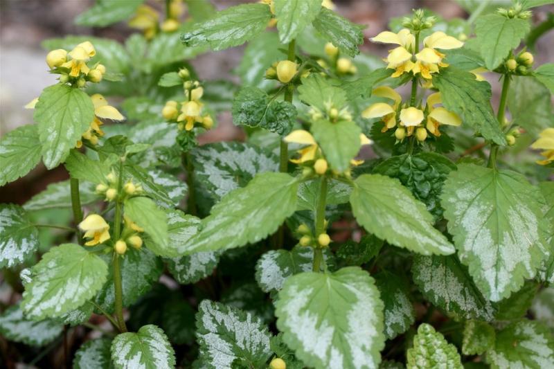 Яснотка зеленчуковая или Зеленчук желтый Galeobdolon luteum