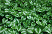 Яснотка зеленчуковая или Зеленчук желтый Galeobdolon luteum, фото 4