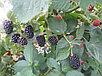 Ежевика сорт Натчез, фото 2