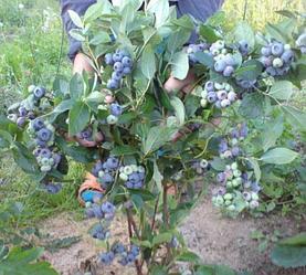 Голубика высокорослая сорт Патриот