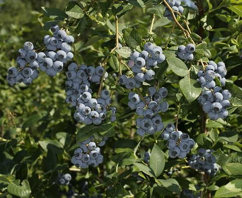 Голубика высокорослая сорт Эрлиблю