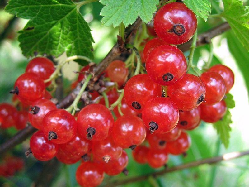 Смородина красная сорт ранняя сладкая