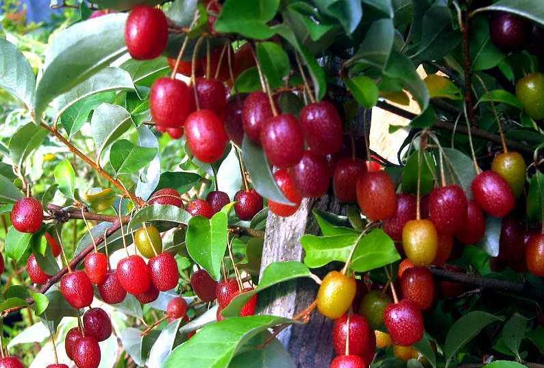 Гумми Лох многоцветковый сорт Шикотан