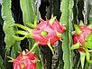 Питахайя плоды розовые, фото 2