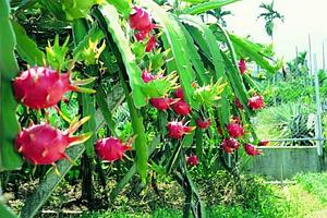 Питахайя плоды красные
