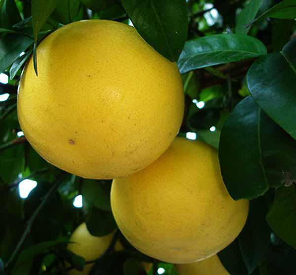 Грейпфрут сорт Марш сидлис