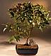 Евгения унифлора Cуринамская вишня, фото 2