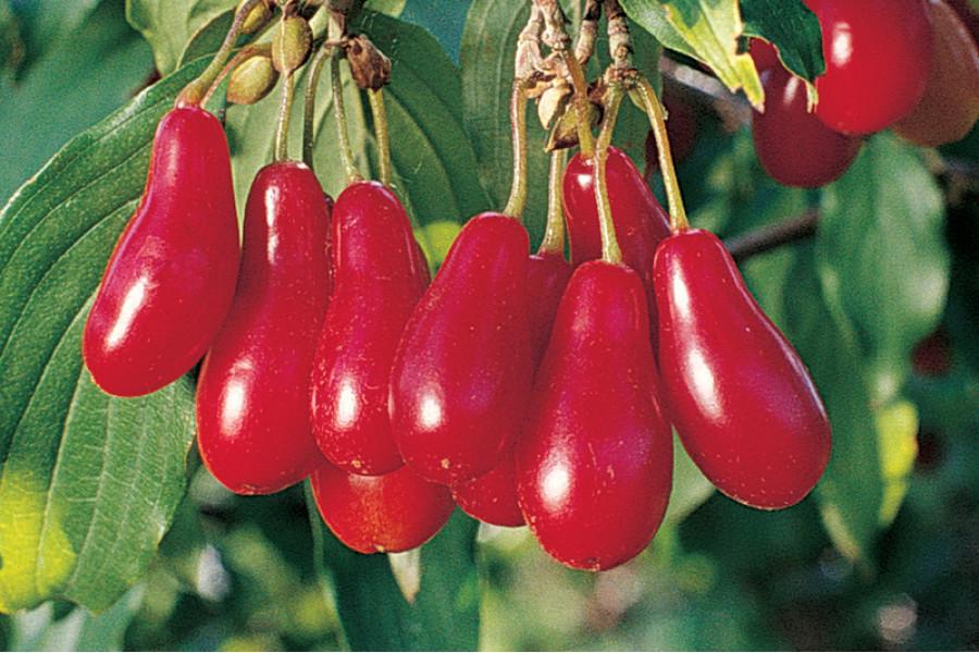 Кизил крупноплодный сорт Ставропольский грушевидный