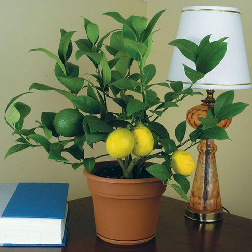 Лимон сорт Диаскури