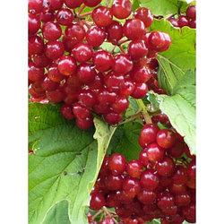 Калина садовая красная сорт Гранатовый браслет