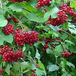Калина садовая красная сорт Таежный рубин