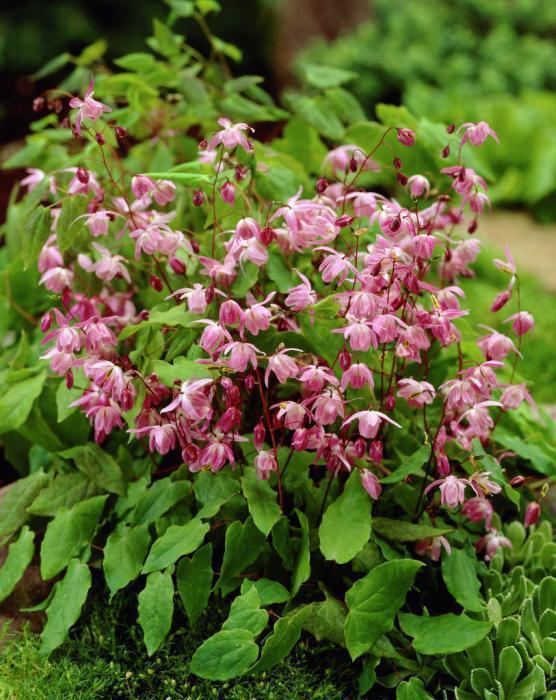 Горянка эпимедиум сорт Lilafee с розовыми цветами