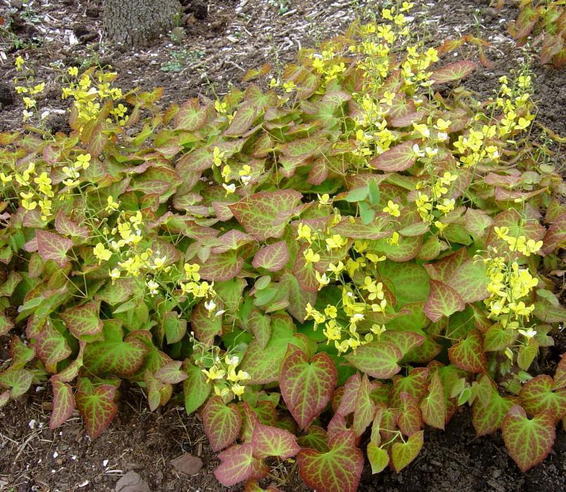 Горянка эпимедиум Sulphureum с желтыми цветами