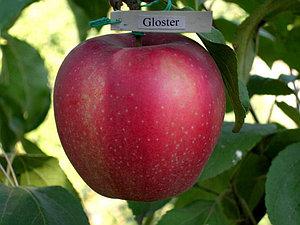 Яблоня сорт Глостер